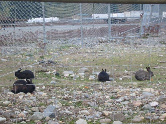 Wild Rabbits Vancouver Island